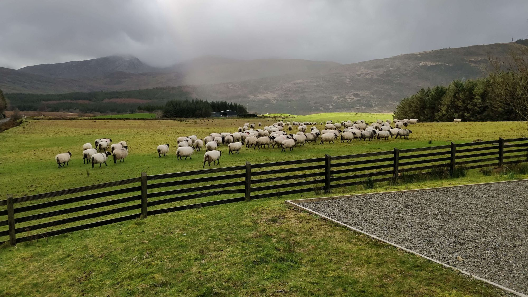 Sheep going out to pasture after being scanned for lambs